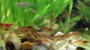 Креветки Вишня кушают. Особо впечатлительным не смотреть. Aquael Shrimp Set Smart Plant 10