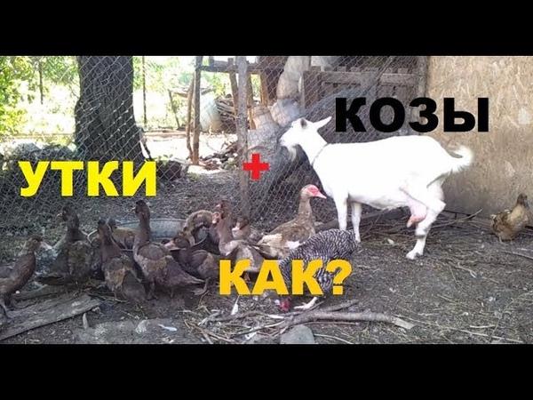 Как кормить кур, уток, коз, овец совместное содержание.