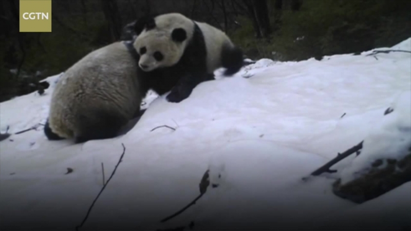 Редкий кадр! В объектив инфракрасной камеры попала панда со своим малышом в горах в заповеднике Танцзяхэ