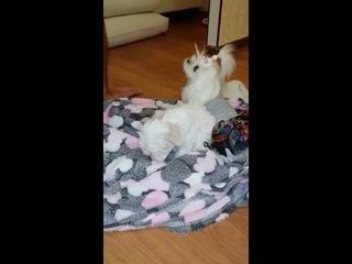Мальтезе Барби ❤ Первые минуты дома