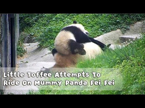 Little Toffee Attempts To Ride On Mummy Panda Fei Fei iPanda