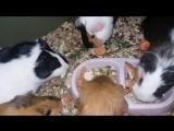Свинки кушают овощи (31.03.18)