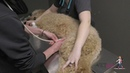 How to perform a AFAST abdominal ultrasound in a dog VETgirl Veterinary CE Videos