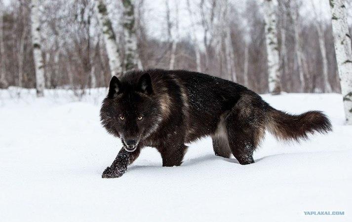 Восхождение чёрного волка (Документальные фильмы National Geographic HD) » Freewka.com - Смотреть онлайн в хорощем качестве