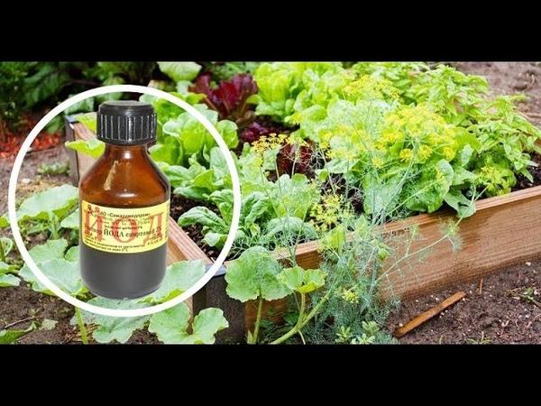 Одна капля йода, и ты не узнаешь свой огород! Против фитофтороза, мучнистой росы и вредителей