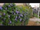 Цветут клематисы 1 группы обрезки Княжики 1 июня лето