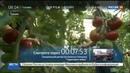 Новости на Россия 24 • Турецкие производители помидоров ждут возвращения на российский рынок