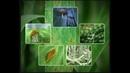Бурая ржавчина (Puccinia recondita) и другие ржавчины зерновых культур
