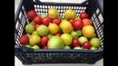 Как дозреть зеленые томаты Дозаривание и хранение помидоров
