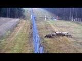 Восемь овец из Литвы сбежали в Беларусь