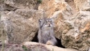 """𝐍𝐀𝐓𝐆𝐄𝐎🌍 𝐨𝐧𝐞 on Instagram: """"Манул — дикая кошка с самым густым и теплым мехом в мире. Внешне манулы напоминают обычных домашних кошек серого окраса..."""