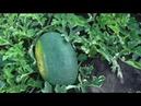Помогаю арбузам хорошо завязывать здоровые правильной формы плоды
