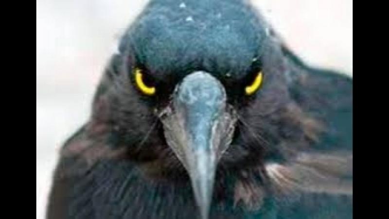 ВОРОНЫ.Если бы орнитологи не сняли это на камеру, никто бы не поверил.Крылатая раса.