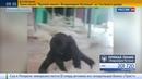 Новости на Россия 24 Видео с гориллой балериной собрало два миллиона просмотров в Фейсбуке