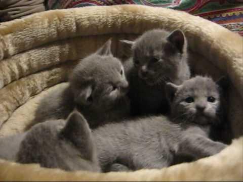 Russian Blue Kittens- Gatos Azul Ruso