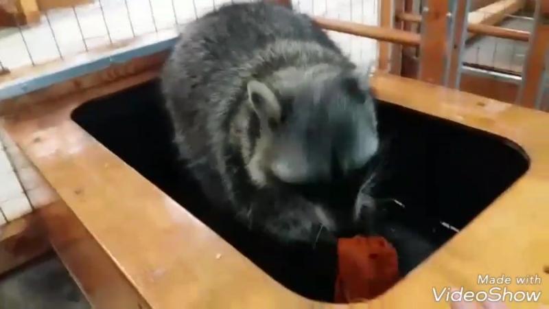 Ручной Zоопарк Енот Ася играет с водой 2018