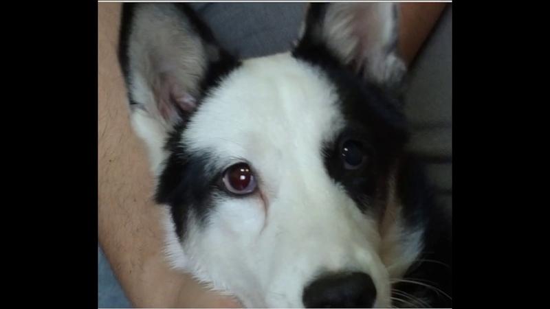 Интраокулярное протезирование глаза собаки породы якутская лайка