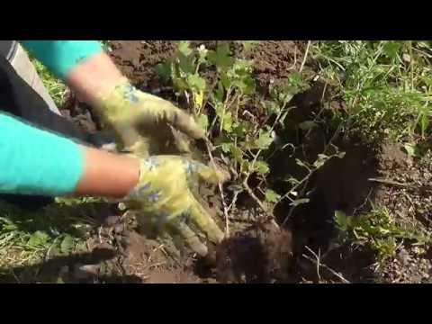 Размножение крыжовника и смородины отводками осенью (сентябре-октябре)