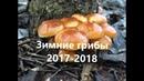 Зимние грибы 2017-2018: какие грибы растут зимой. Вспомним вместе