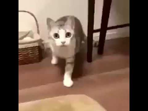 Wilfred Warrior Cat memes funny cat