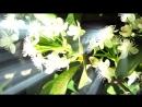 30min Loop of Katherine Jenkins The Flower Duet (feat. Kiri Te Kanawa) A=432Hz
