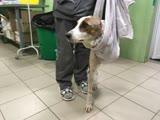 Пёс, попавший под поезд в Перми и лишившийся двух лап, заново учится ходить