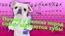 Почему у собак шатаются зубы, пародонтит или пародонтоз?