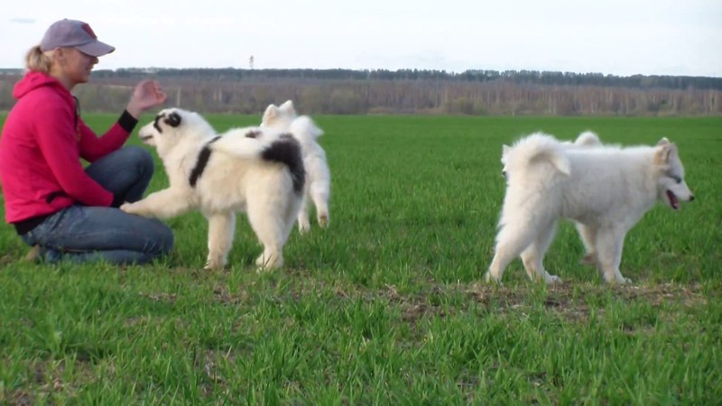 Yakutian Laika puppies Щенки якутской лайки весна 2018