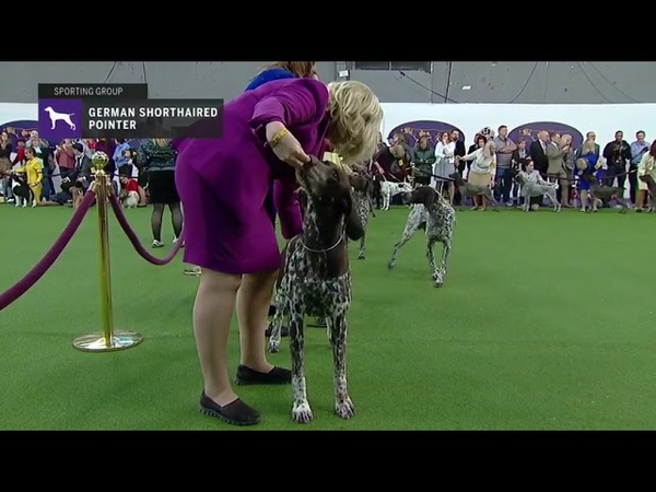Pointers German Shorthaired Breed Judging 2019