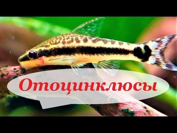 Отоцинклюс. Содержание, разведение, кормление в аквариуме Otocinclus