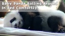 Baby Panda Rolling Around In Bed Comfortly | iPanda