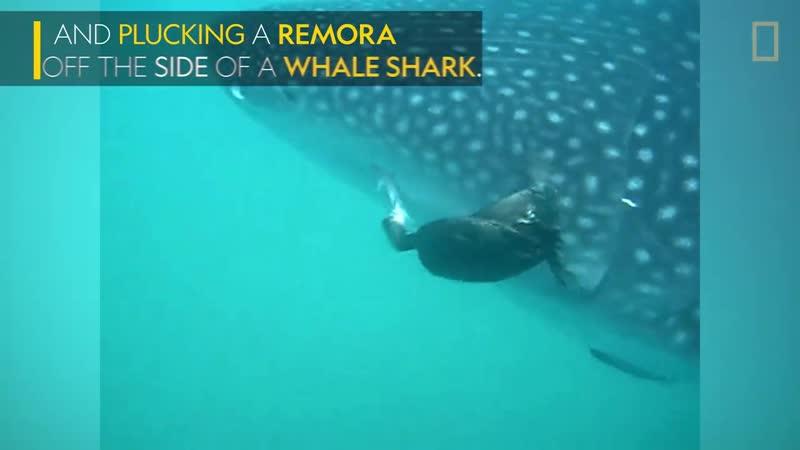 Баклан помогает в китовой акуле очиститься от рыб прилипал