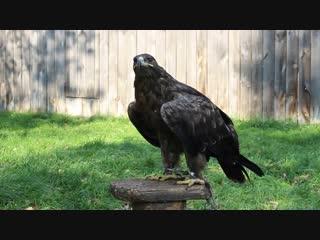 Степной орёл в питомнике