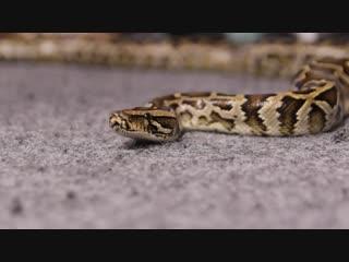 Мои змеи и гости на банкете... ДжавхарА... Сызрань...