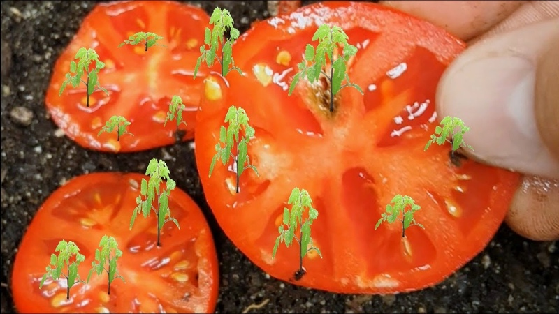 How To Grow Tomatoes from Seed FAST and EASY Way! WORKS EVERY TIME!!