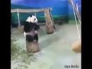 Размышления и решимость панды mp4