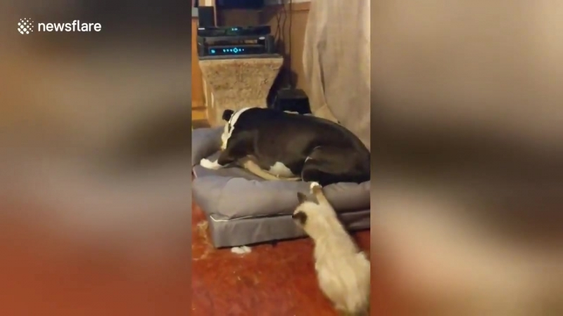 Kitten cant stop playing with dogs wagging tail