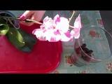 Орхидея Леди Макбет. Пересадка в ЗС.