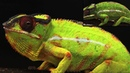 Photonic crystals cause active colour change in chameleons