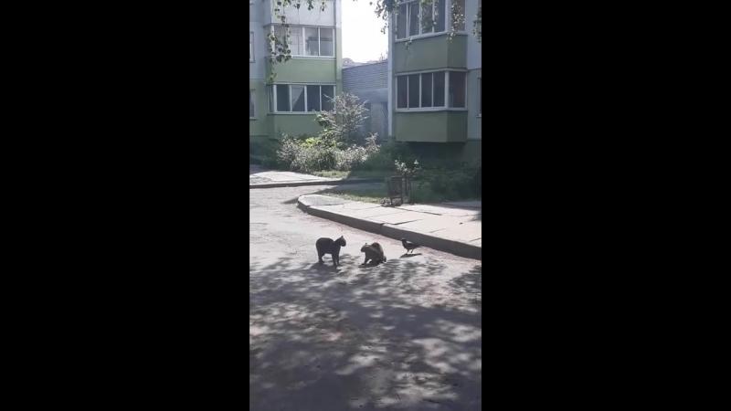Как ворона-тролль подстрекала двух котов