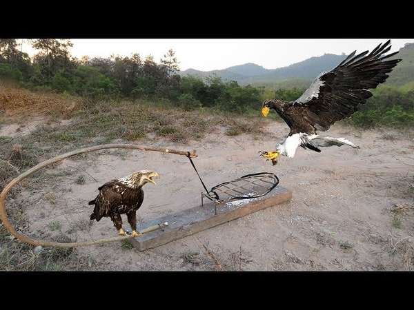 Awesome Quick Bird Trap Using A Leg Snare Platform Trap - Easy Best Bird Trap That Work 100%