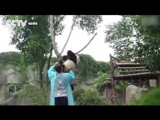 Как снять панду с дерева