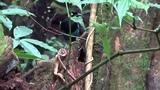 Bushy-crested jay Кустарниковая чёрно-синяя сойка Cyanocorax melanocyaneus