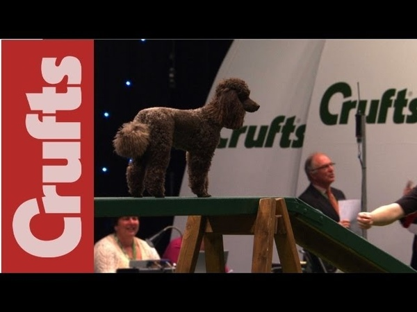 Chester the cute miniature poodle Crufts 2012