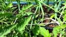 Выращивание помидор методом И.М. Маслова.