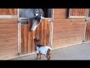 Игривый козлёнок и лошадь