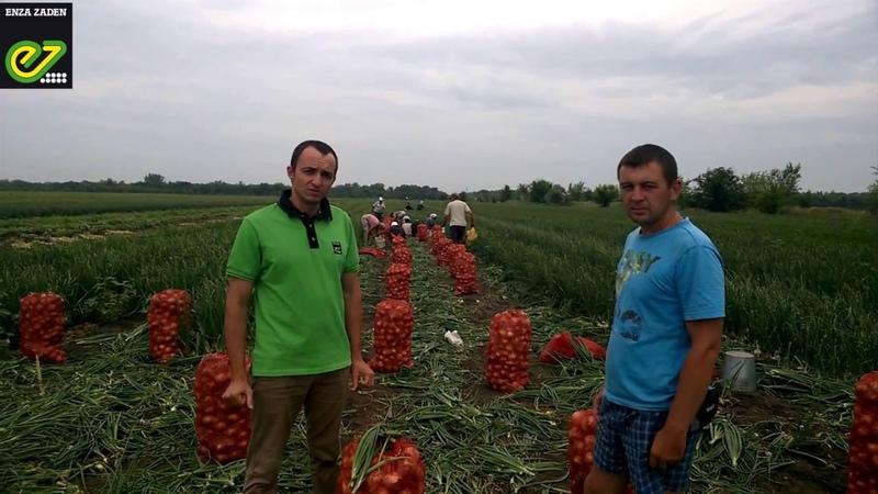 Лук Зои F1 Enza Zaden Опыт выращивания Саратов