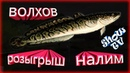 (русская рыбалка 4) Розыгрыш налим на волхове ка кусочек рыбы