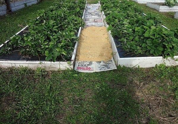 как сделать, чтобы в проходах трава не росла очередной совет от игоря лядова.(текст автора) на фото вы видите грядки с садовой земляникой под чёрной плёнкой. это удобно, борьба с сорняками