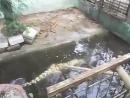 Что будет если тыкать в (самку/молодого самца) гребнистого крокодила палкой
